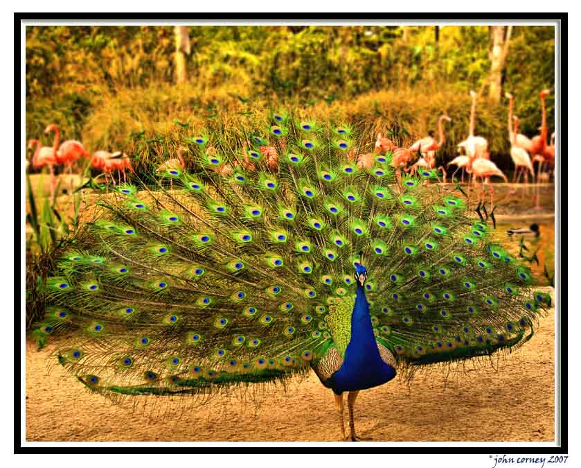 peacock-flamingoes.jpg